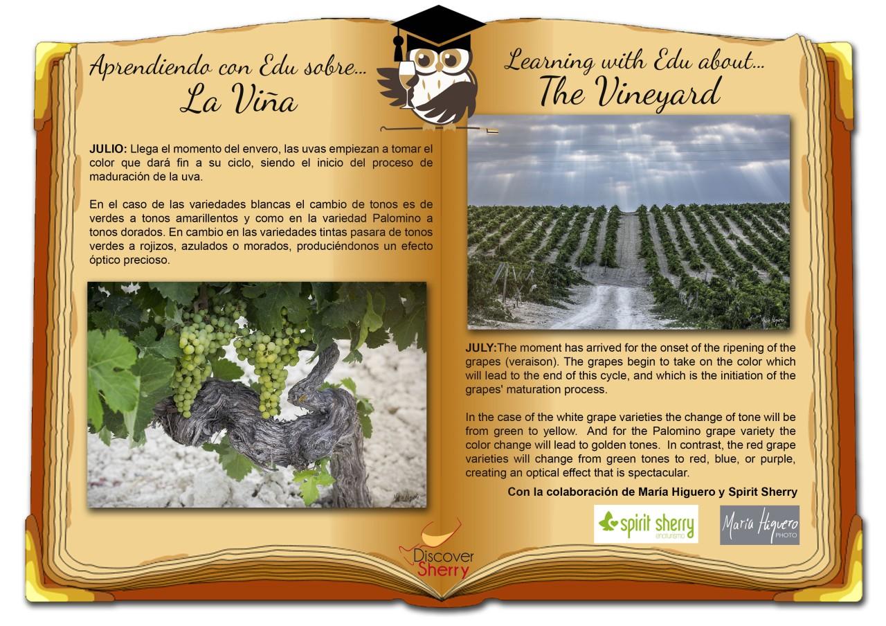 Sherry Explorers, repaso: La Viña en Julio. The Vineyard inJuly.