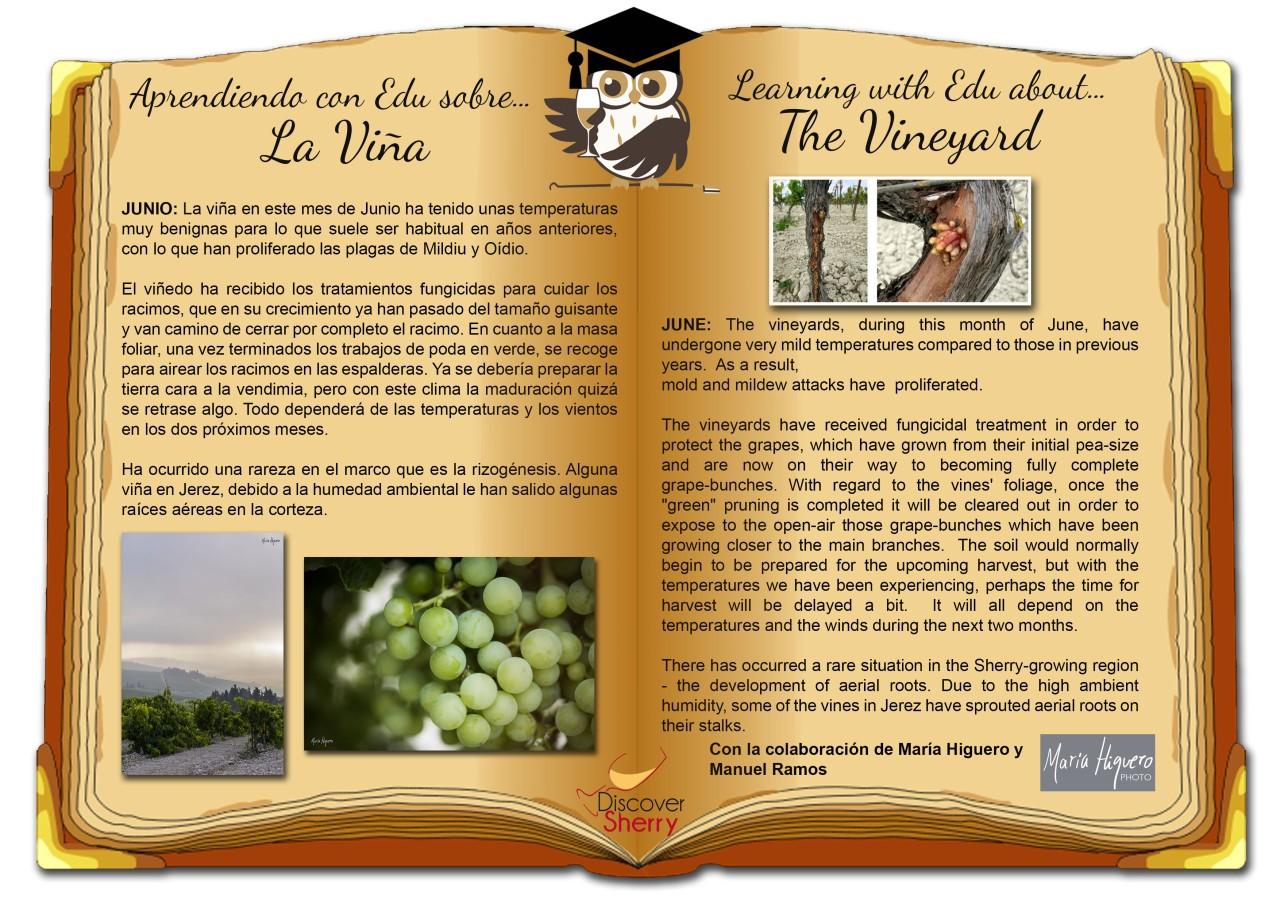 Sherry Explorers, repaso: La Viña en Junio.     The Vineyard inJune.